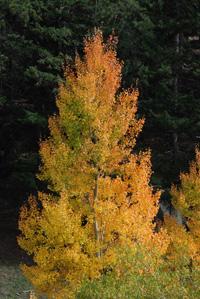 Evergreen Autumn